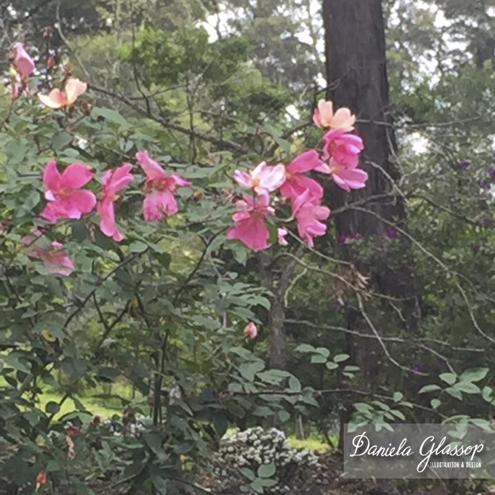 Roses-MountTambourine ©DanielaGlassop.jpg