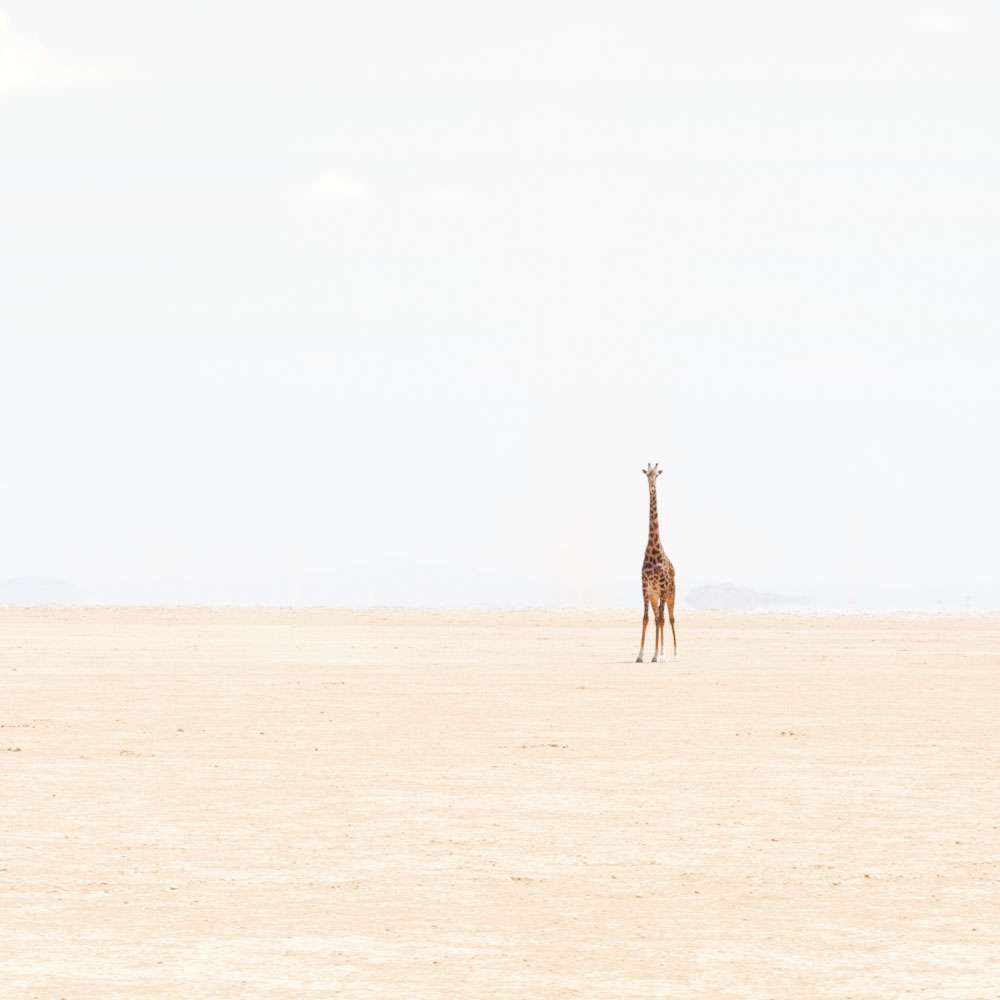 Lone Giraffe, Amboseli, 2014