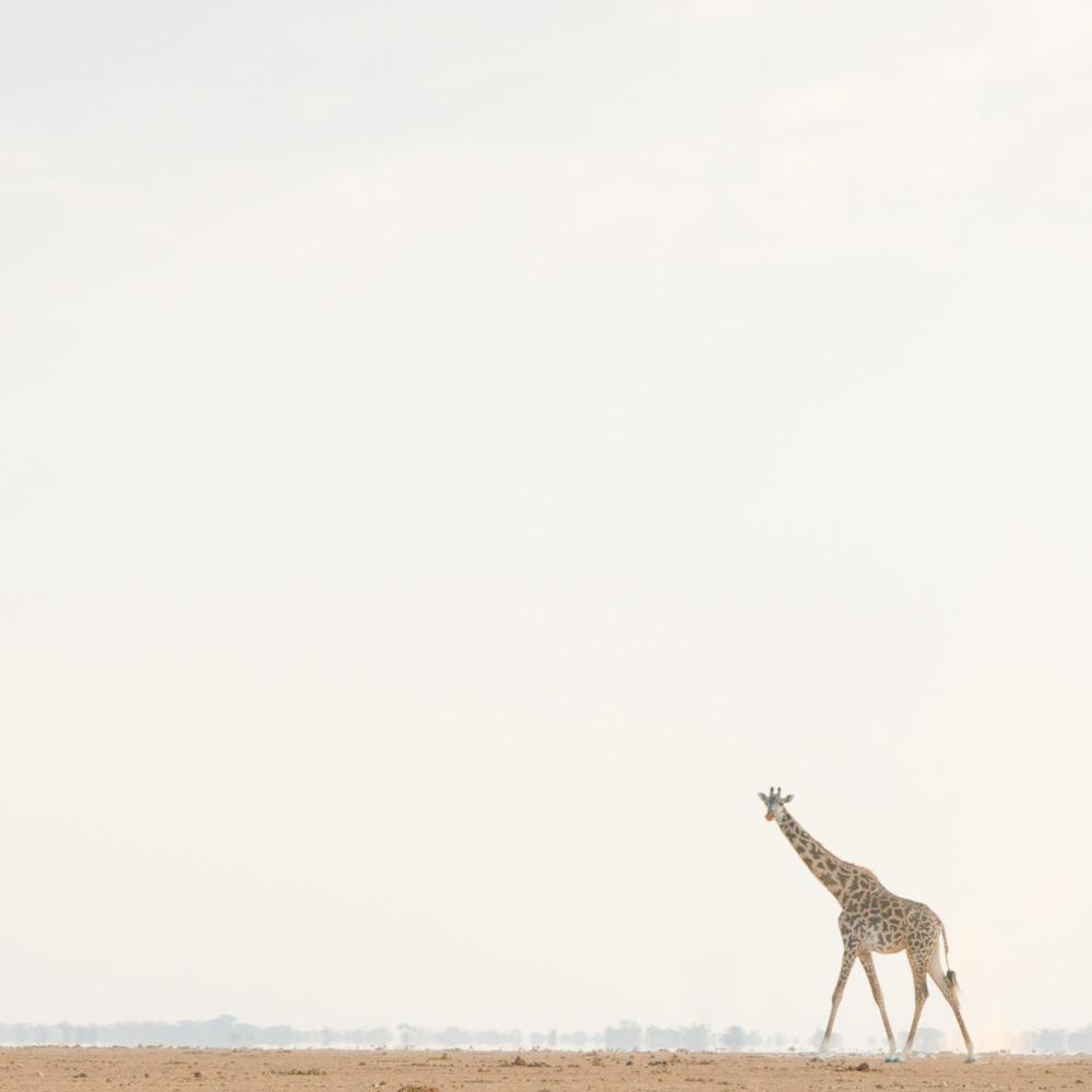 Giraffe Walking Across the Evening Plains, Amboseli, 2014