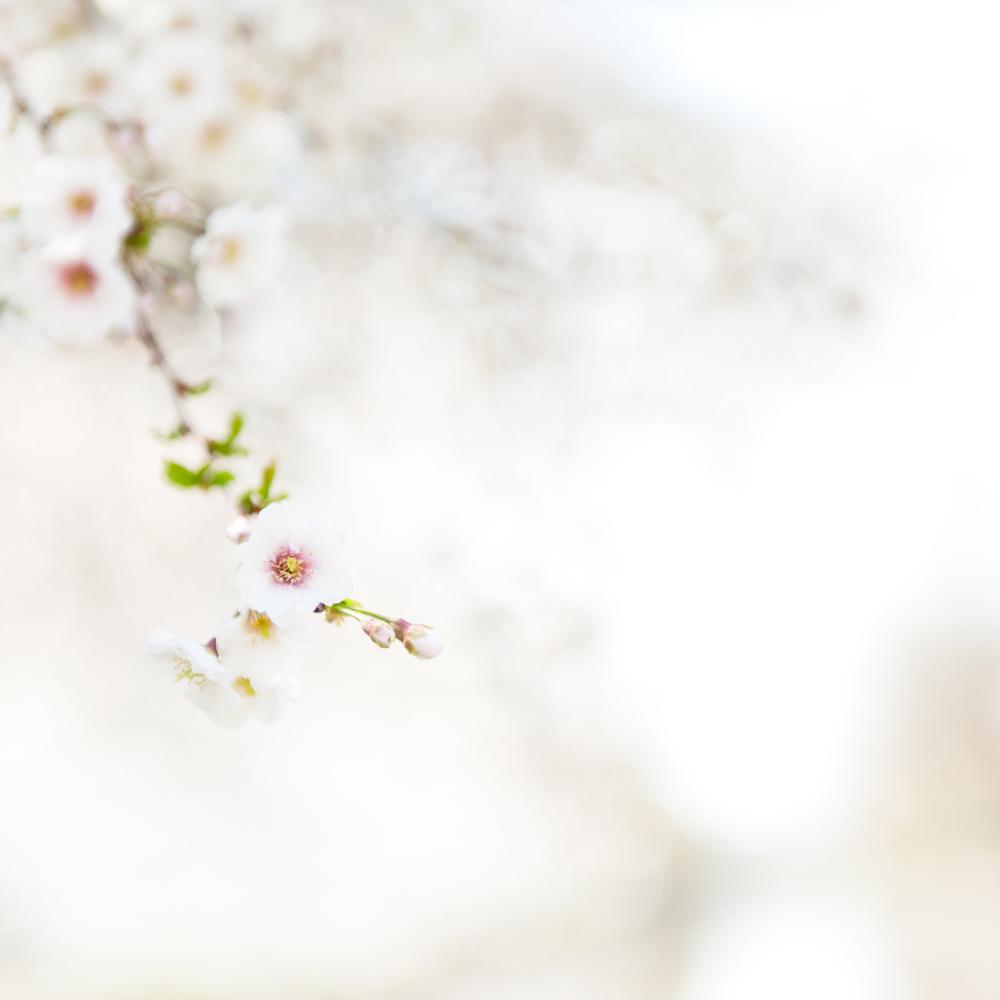 Study 2, Cherry Blossom, Charles River Esplanade