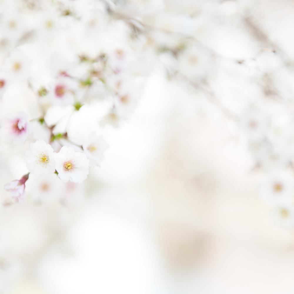 Study 1, Cherry Blossom, Charles River Esplanade