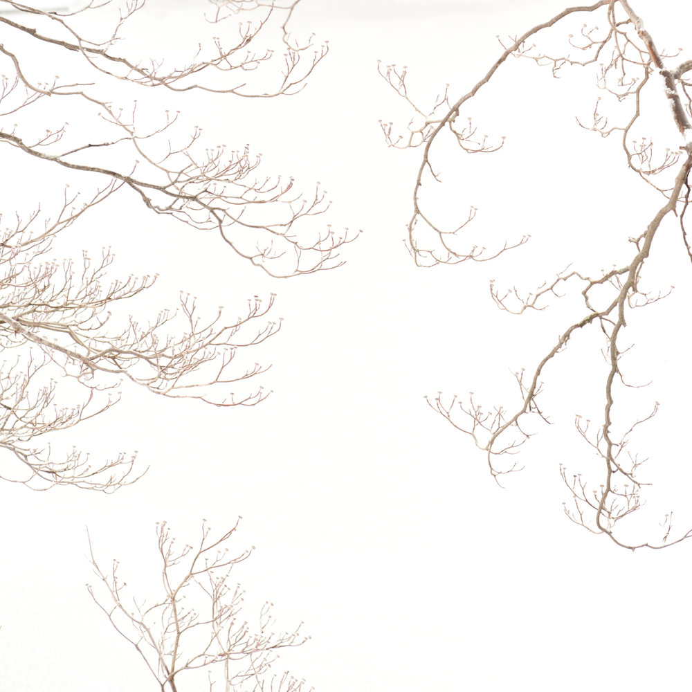 Study in Snow, Dogwood Tree, 1