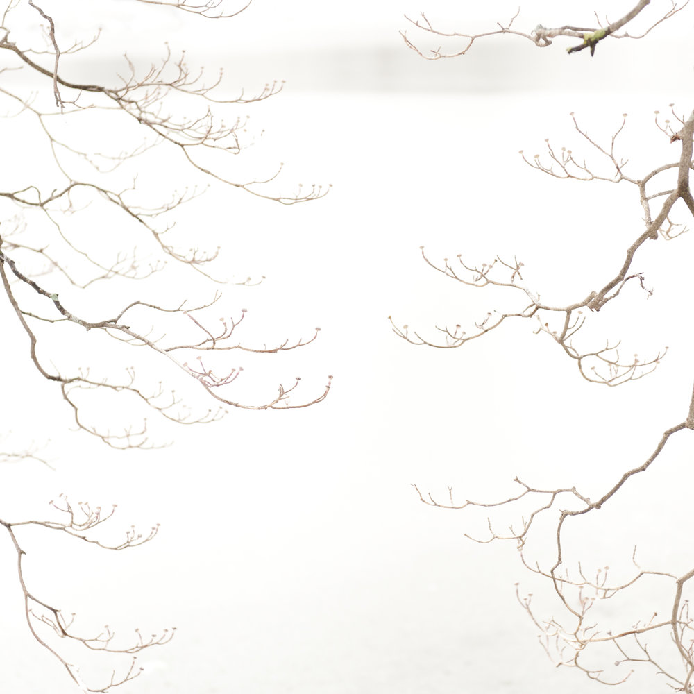 Study in Snow, Dogwood Tree, 6