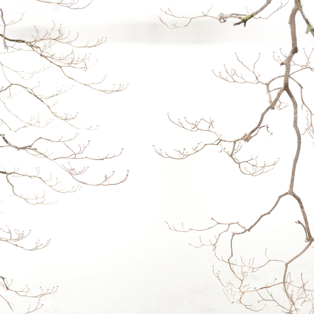 Study in Snow, Dogwood Tree, 7