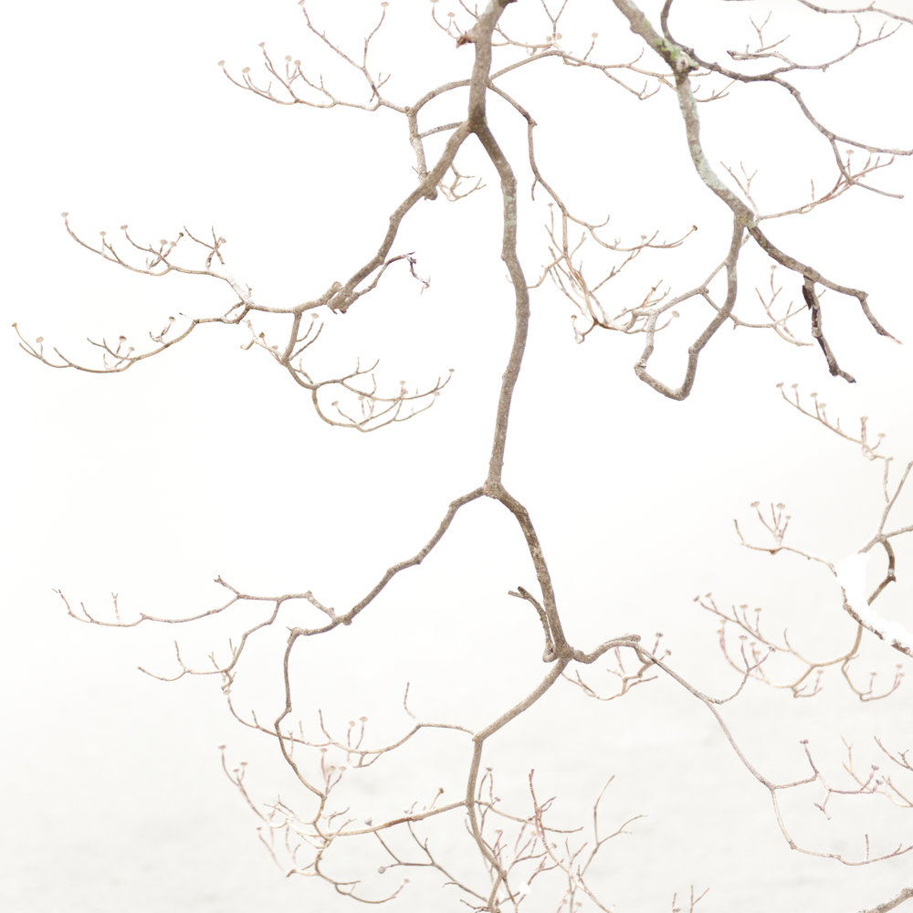 Study in Snow, Dogwood Tree, 8