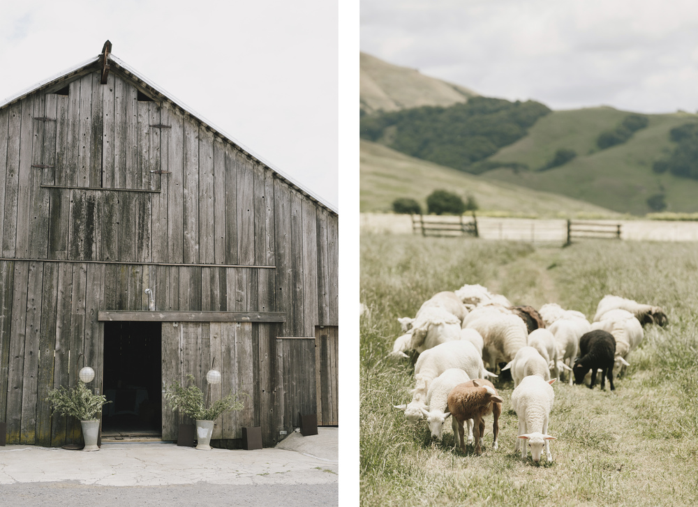 farm wedding Petaluma California Chileno Valley Ranch with goats