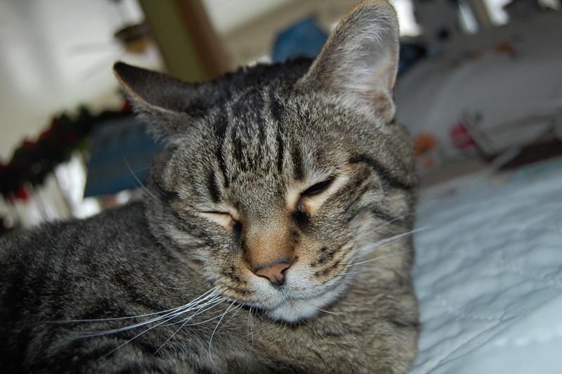 Nermal, cat