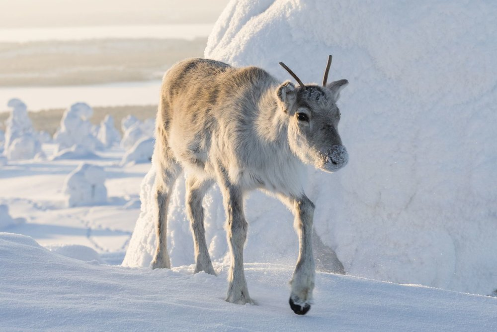 74fdfb59-riisitunturi-production-ailos-journey-lapland-crew-ailo-reindeer-marko-junttila-1440x960.jpg