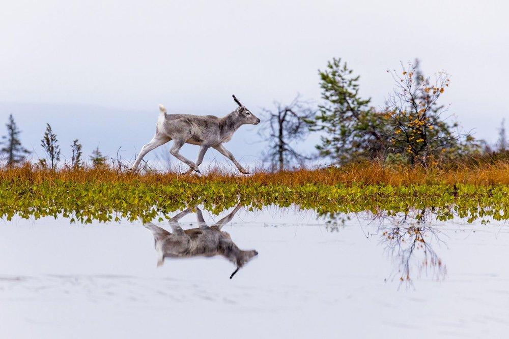 931076f9-riisitunturi-production-ailos-journey-reindeer-matila-rohr-productions-1440x960.jpg