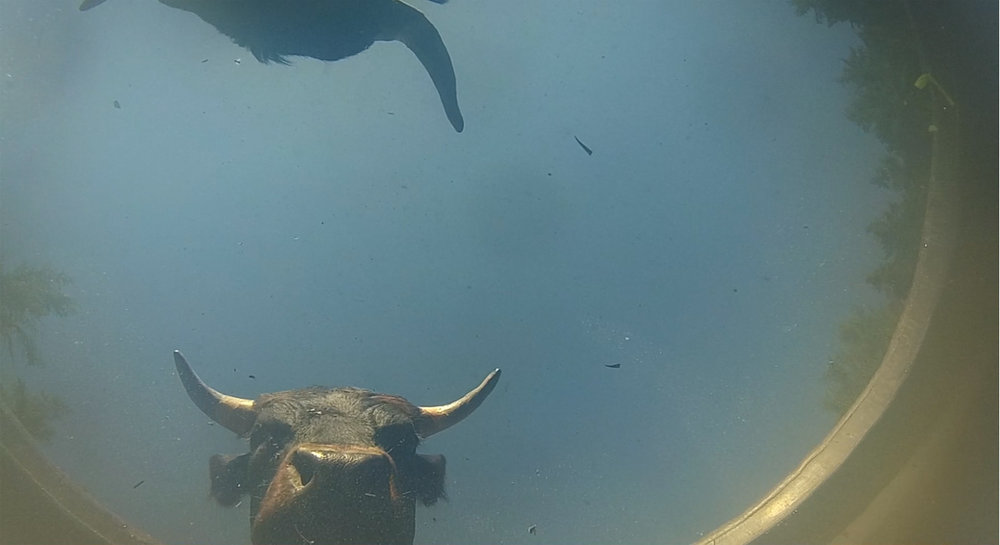 Photo 2 Cows_and_Queens_II.jpg