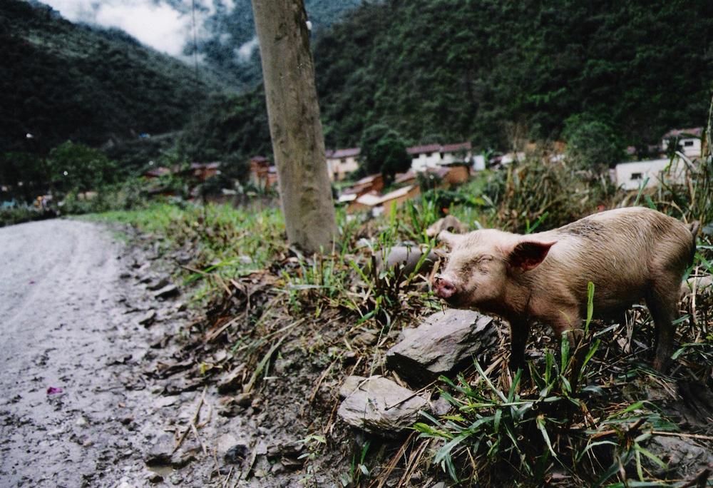 Chancho, Amazonia 2004