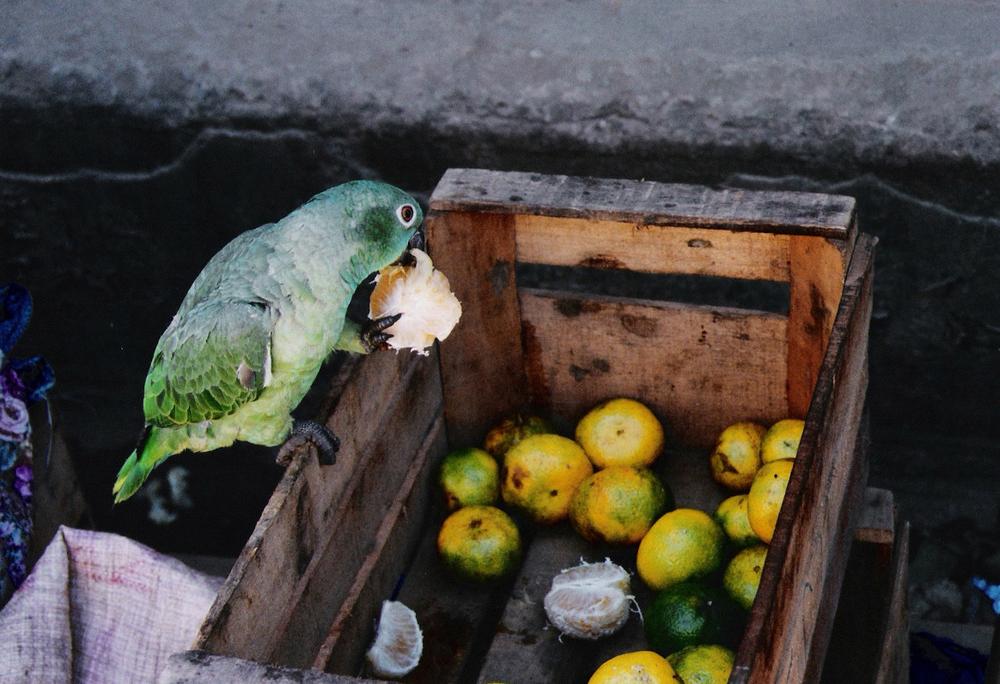 Loro Hambre, Amazonia 2004