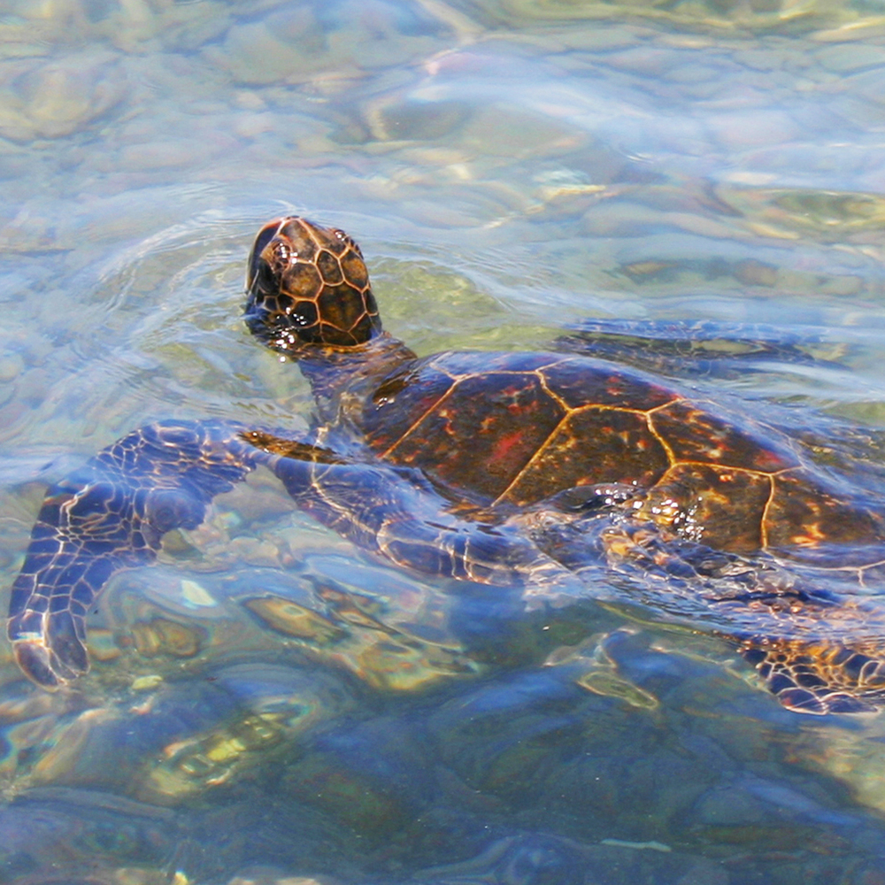 Sea Turtle Close Swim Kahaluu Beach HI S.jpg