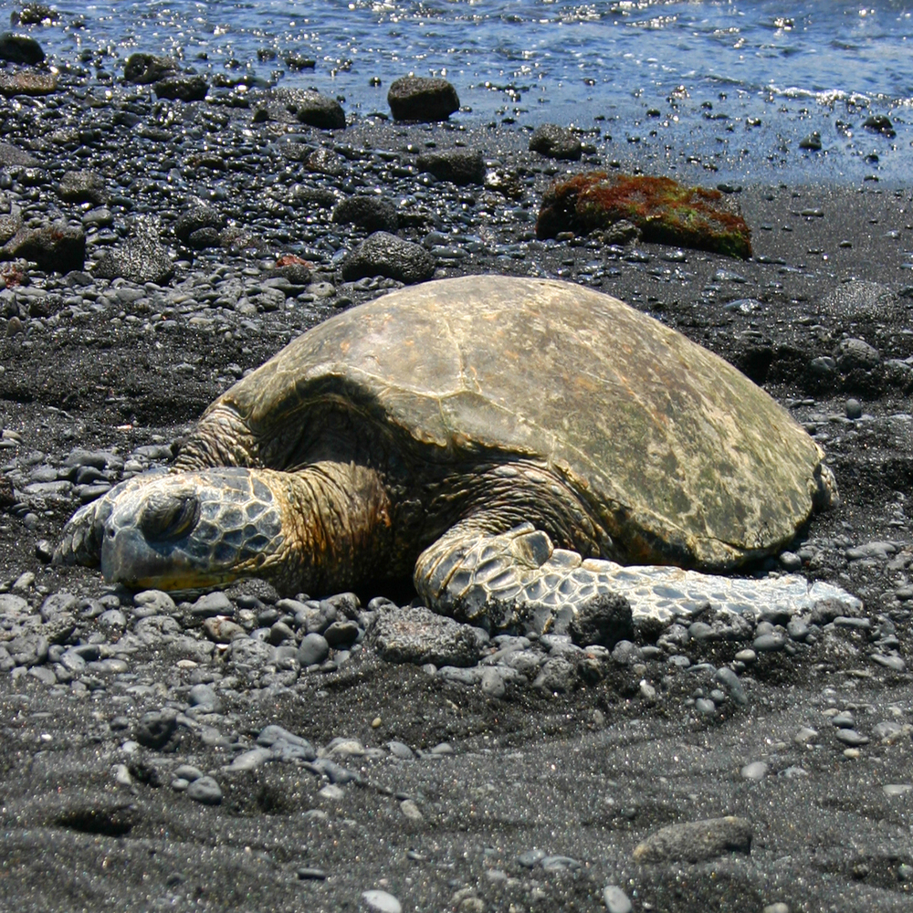 Green Sea Turtle Panaluu Beach HI S.jpg