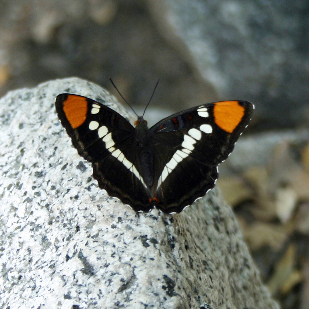 California Sister Butterfly Yosemite Valley CA S.jpg