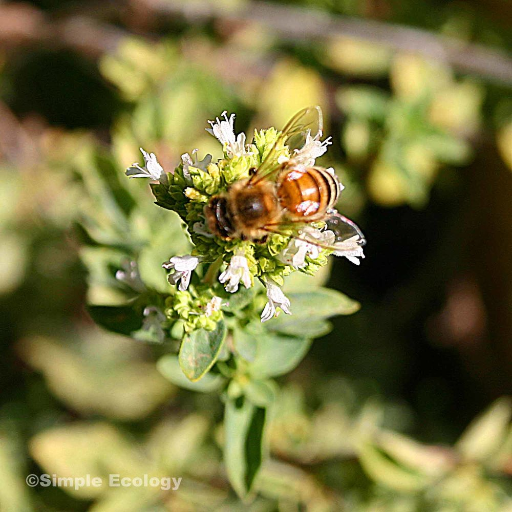 Honey Bee on Oregano SW.jpg