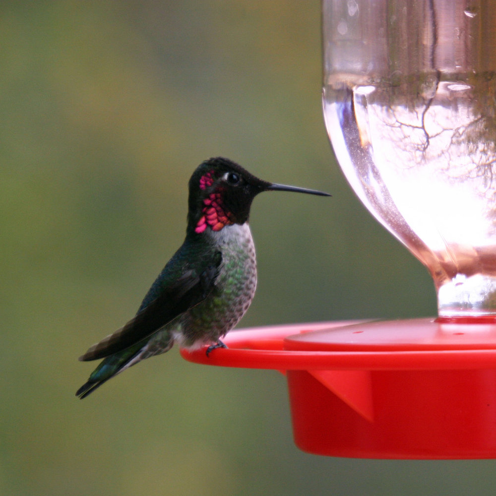 Hummingbird Breakfast Lake Nacimiento CA S.jpg