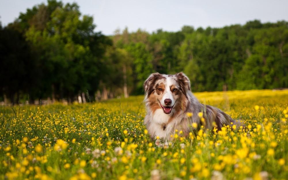 Australian-Shepherd-Dog-Shepherd-Grass-Bloemen-Lie.jpg