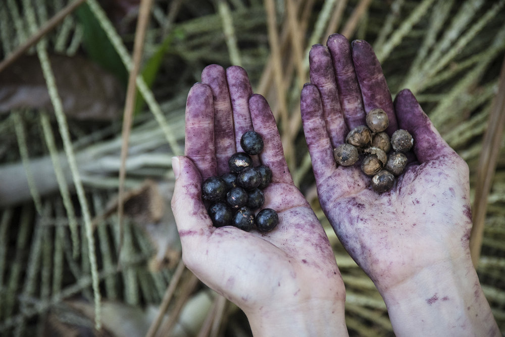 Left: Freshly picked Açaí berries; Right: Fermented Açaí berries after 3 days