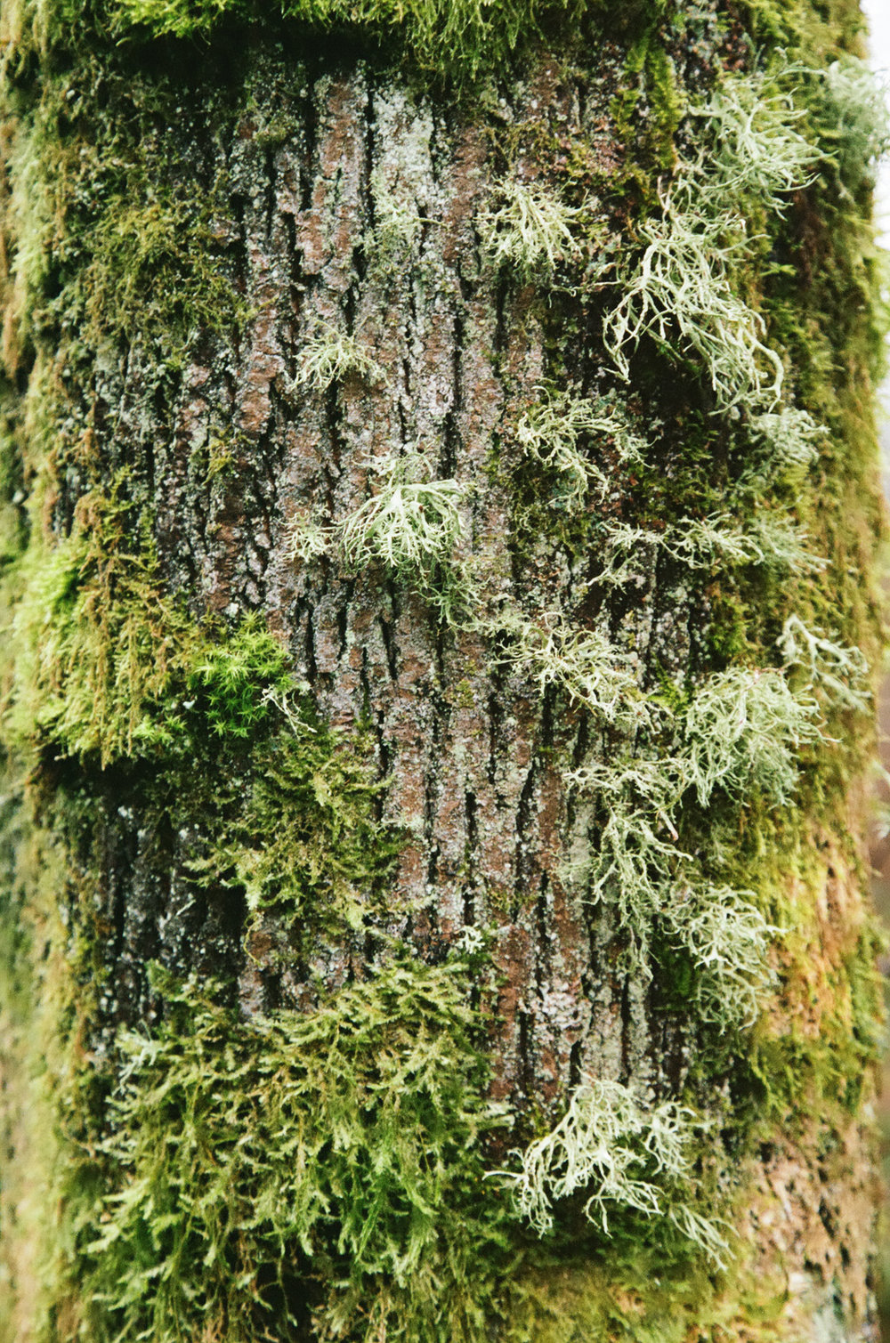 seattle-moss-tree-cameliamanea.jpg