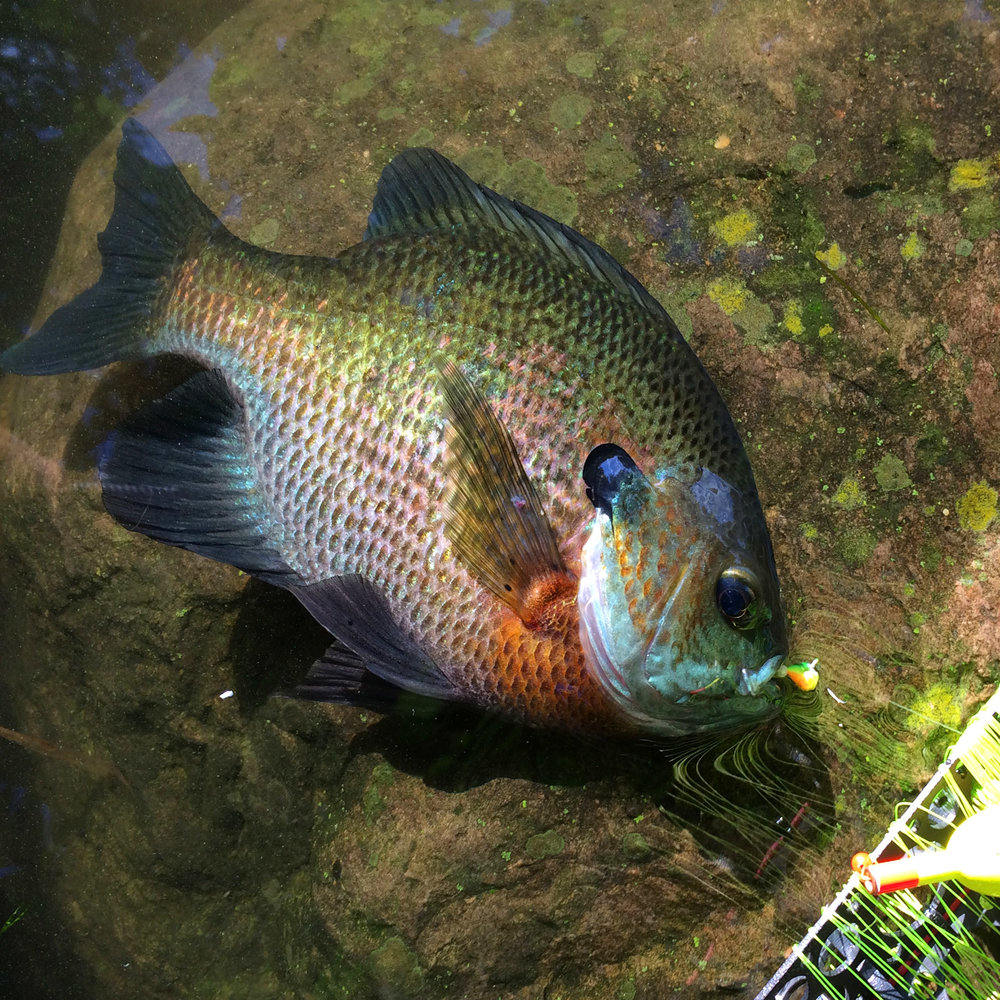 square-bluegill.JPG