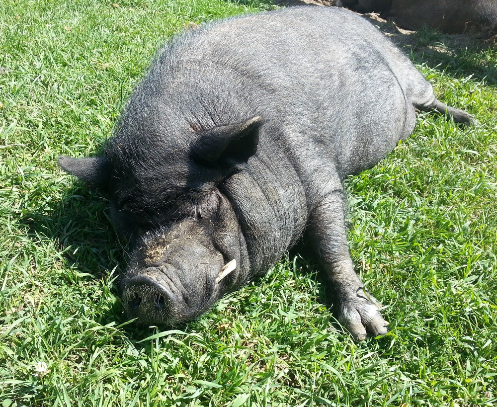 Wilbur, 16 years old, the oldest resident pig