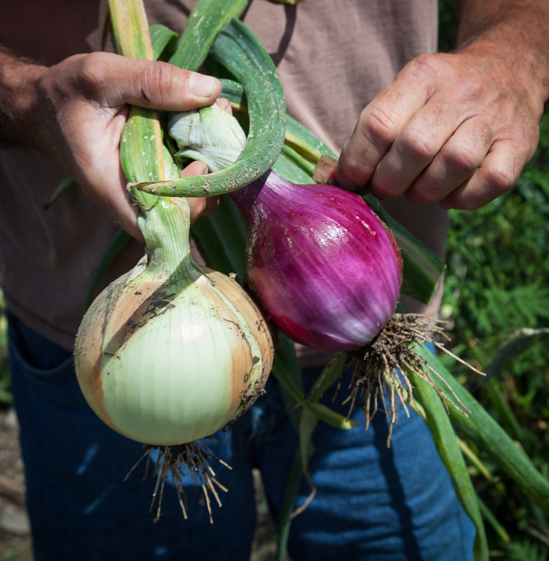 farm onions.jpg