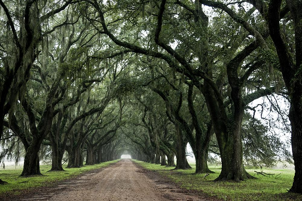 Evergreen oaks copy.jpg