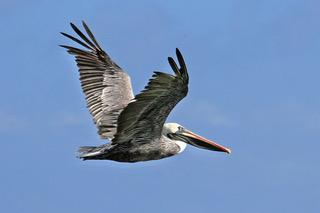Pelican in Flight.jpeg