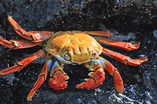 Sally Lightfoot Crab.jpeg