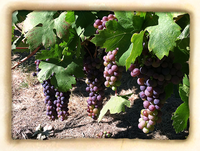 Vineyard-slide2.jpg