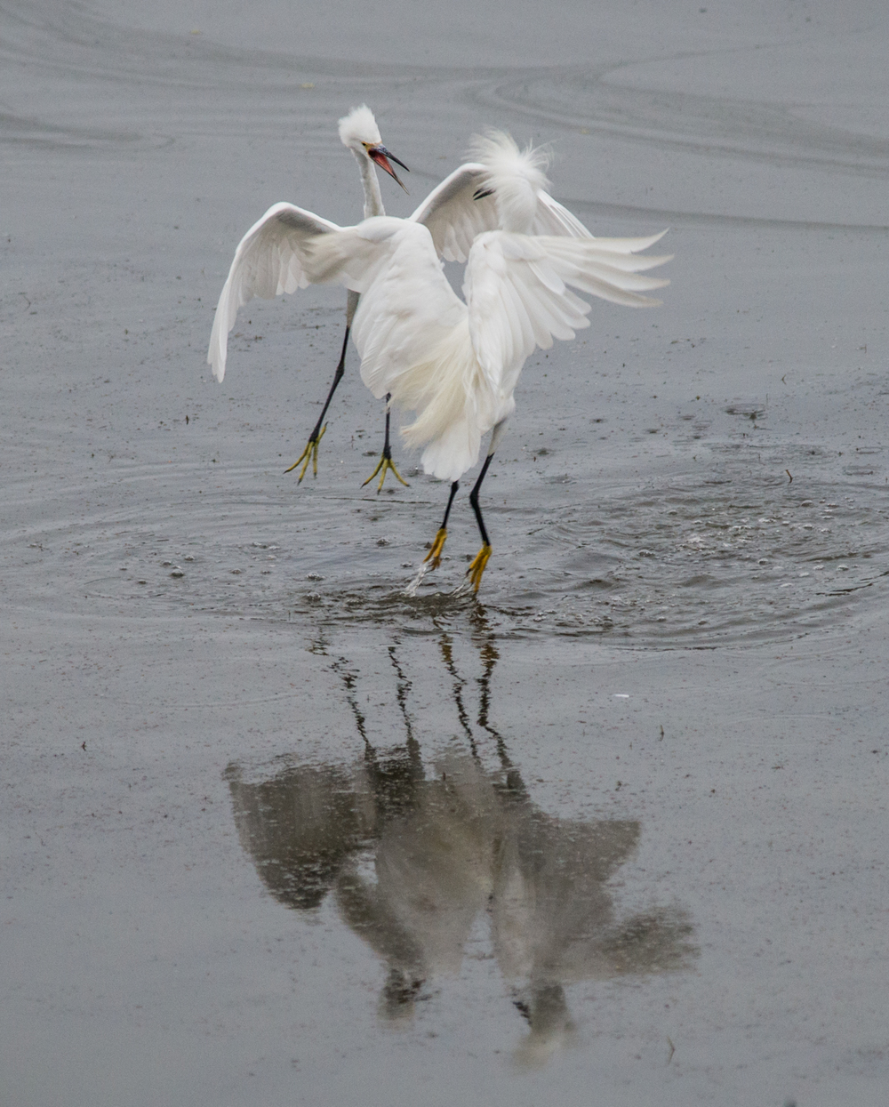 Photo of the Week 6:  Snowy Egret (Egretta thula)   EQ: D800 f/2.8 300mm with 1.7x TC    Taken: 8-8-14 7:12  Setting: 500mm, f/4.8, 1/500s, ISO1400, VR on     Condition: Very Foggy