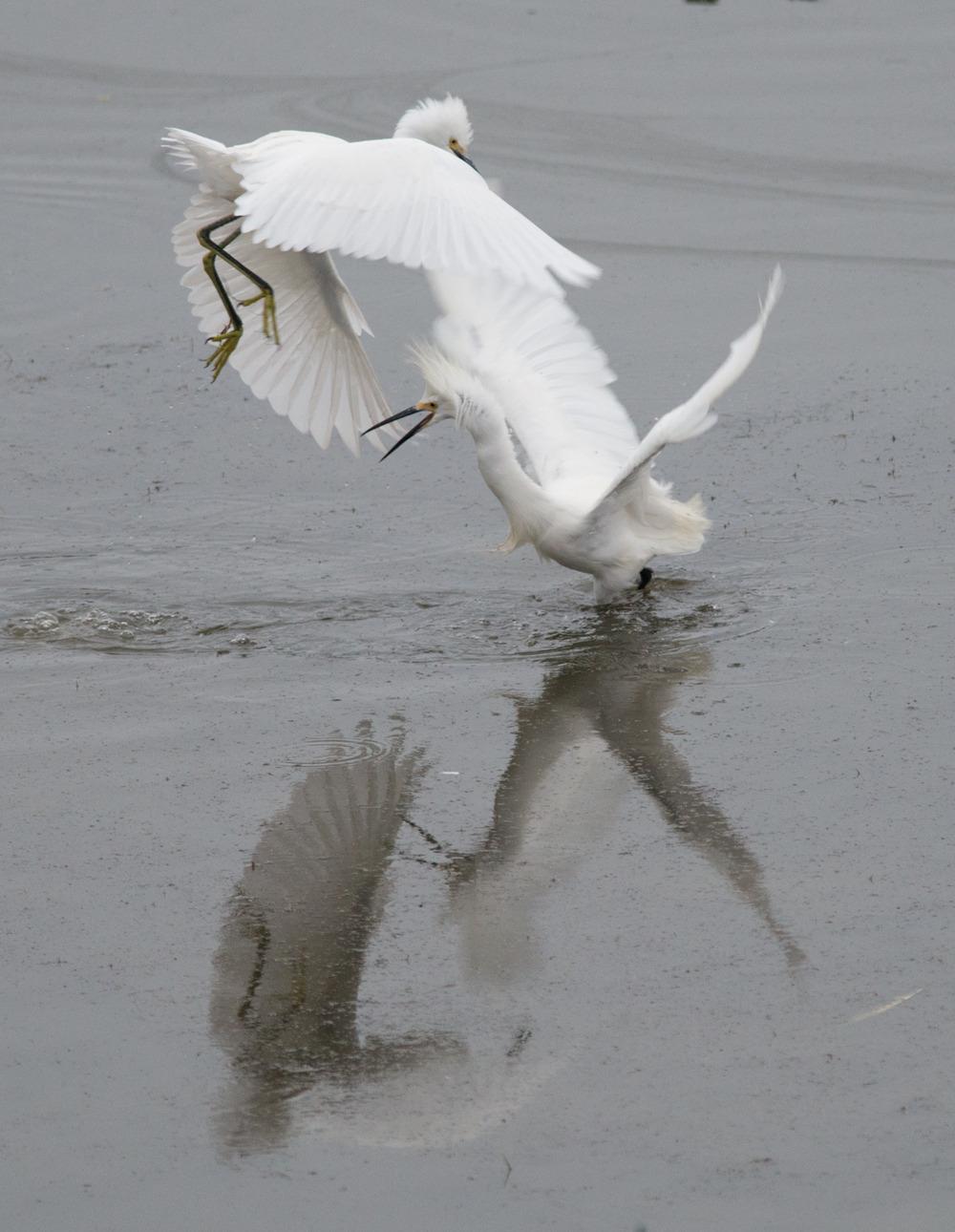 Snowy Egret (Egretta thula)   Setting: 500mm, f/4.8, 1/500s, ISO1400, VR on