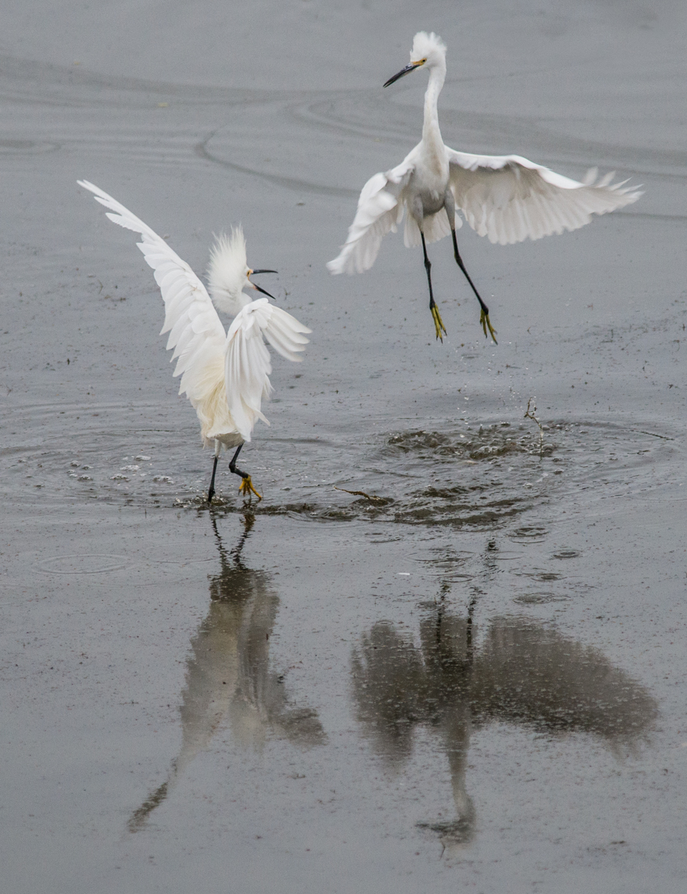 Snowy Egret (Egretta thula)   Setting: 500mm, f/4.8, 1/500s, ISO1400, VR on