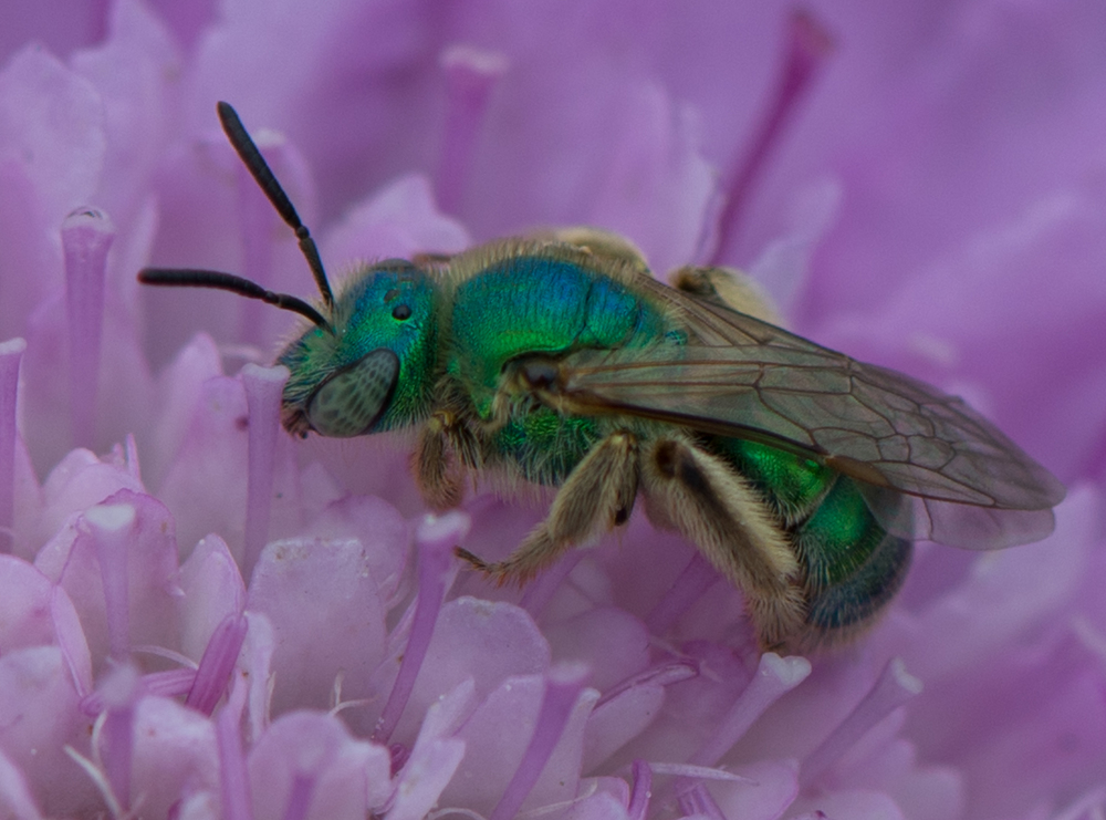 Featured Photo 20:  Metallic Green Bee  (Agapostemon)  EQ: D800 f/2.8 105mm micro    Taken: 7-20-13 11:32  Setting: 105mm, f/7.1, 1/400s, ISO160     Condition: Sunny in shade