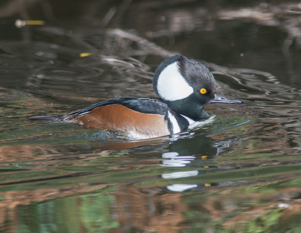 Hooded Merganser, male (Lophodytes cucullatus) Setting: 500mm, f/4.8, 1/800s, ISO360
