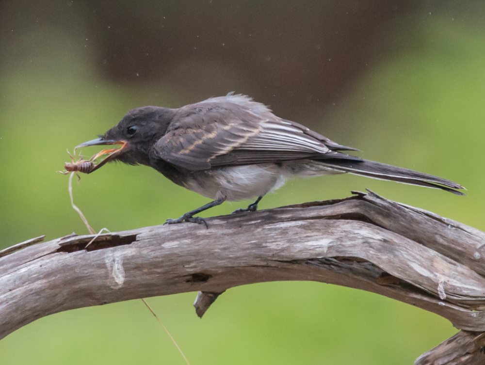 Photo of the Week 8:  Black Phoebe (Sayornis nigricans)   EQ: D800 f/2.8 300mm with 1.7x TC    Taken: 8-29-14 8:18  Setting: 500mm, f/4.8, 1/640s, ISO1600     Condition: Light Fog