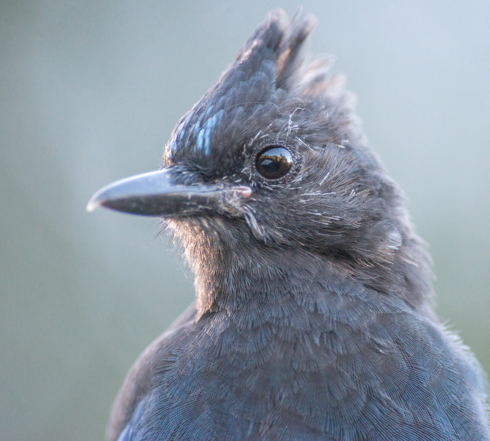 Photo of the Week 9: Steller's Jay (Cyanocitta stelleri)  EQ: D800 f/2.8 300mm with 1.7x TC    Taken: 9-01-14 8:36  Setting: 500mm, f/5.6, 1/800s, ISO1600     Condition: Clear Morning