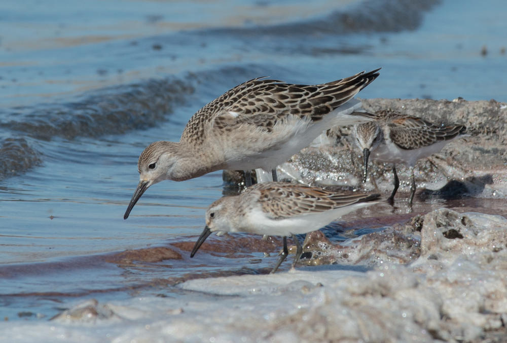 Ruff with Western Sandpipers Setting: 280mm, f/10, 1/800s, ISO360