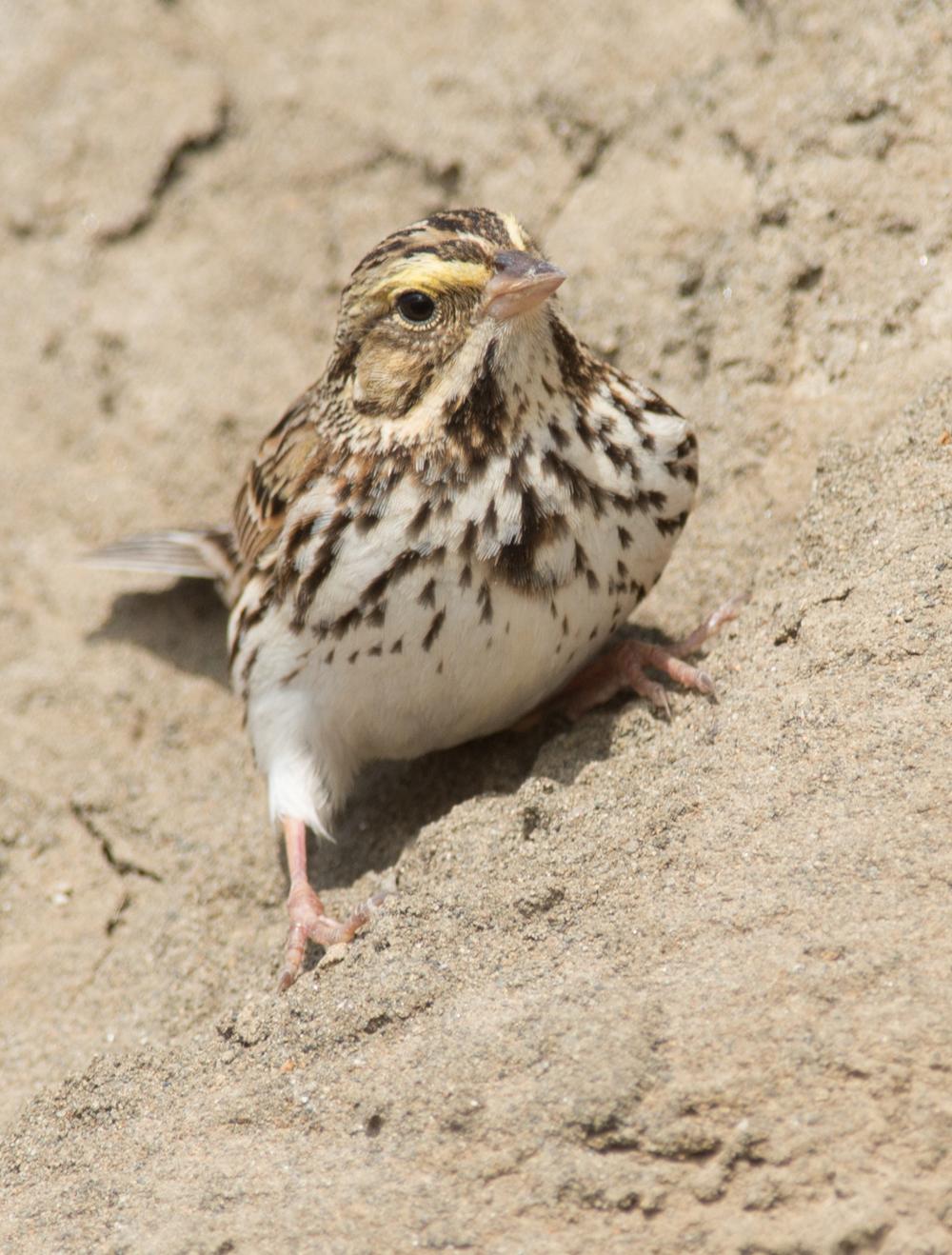 Savannah Sparrow (Passerculus sandwichensis)    500mm,  1/800,  f/6.3 , ISO250  1-4-14 11:27 Sunny