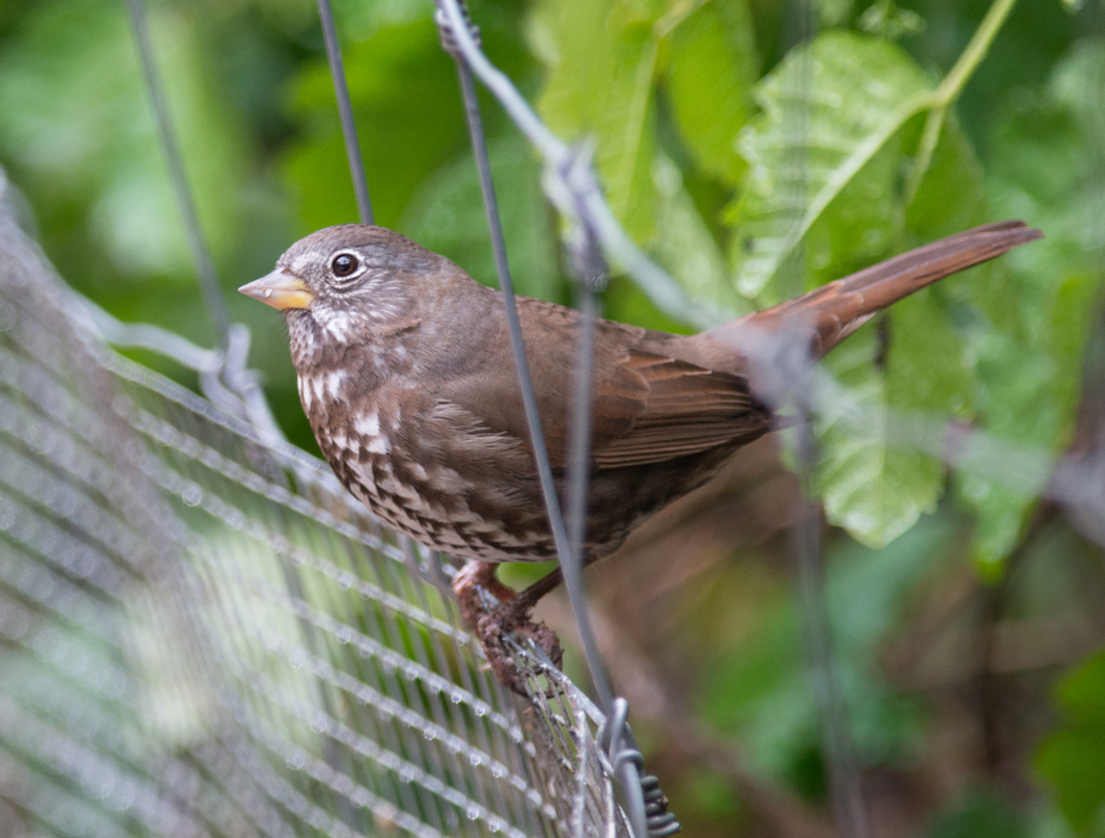Fox Sparrow, Sooty (Passerella iliaca unalaschcensis) 500mm, 1/500, f/4.8, ISO1000 3-29-14 14:18 Foggy