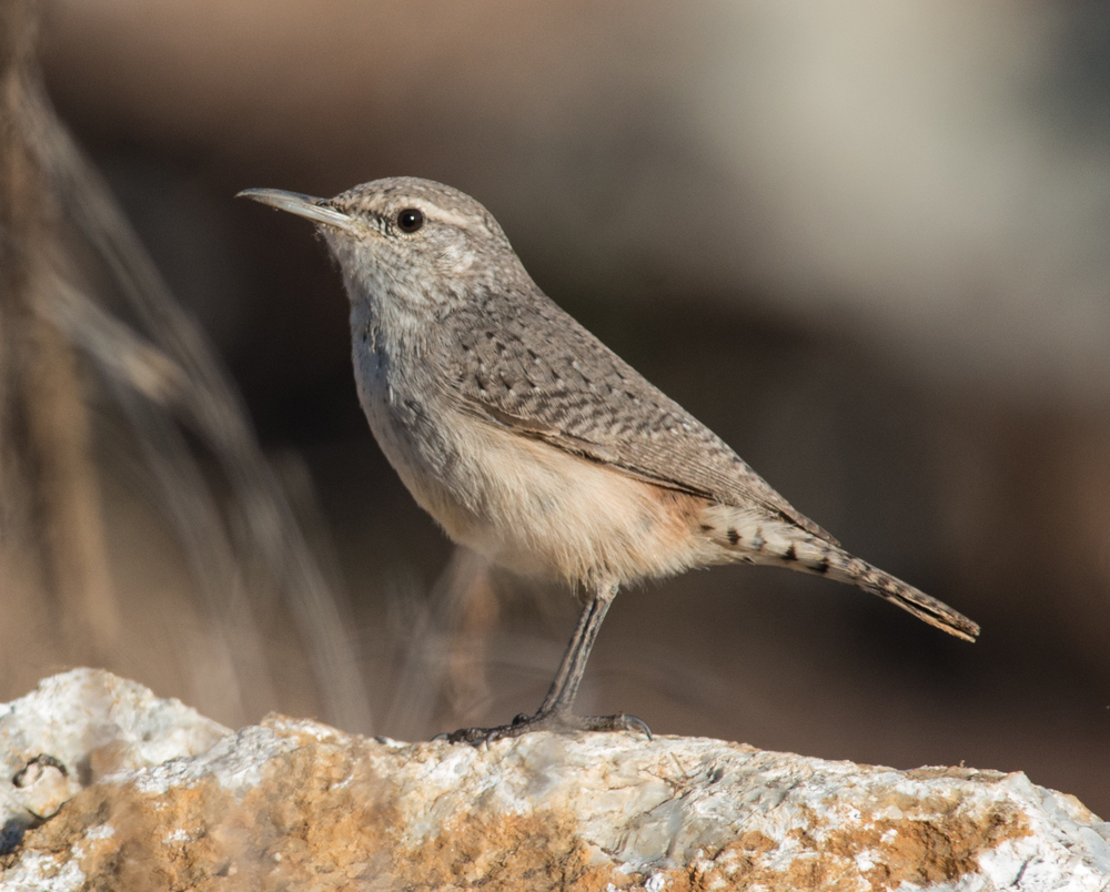 Photo of the Week 14: Rock Wren (Salpinctes obsoletus)  EQ: D800 f/2.8 300mm with 1.7x TC    Taken: 11-09-14 7:32  Setting: 500mm, 1/1000s, f/8.0, ISO720    Condition: Sunny and low sun