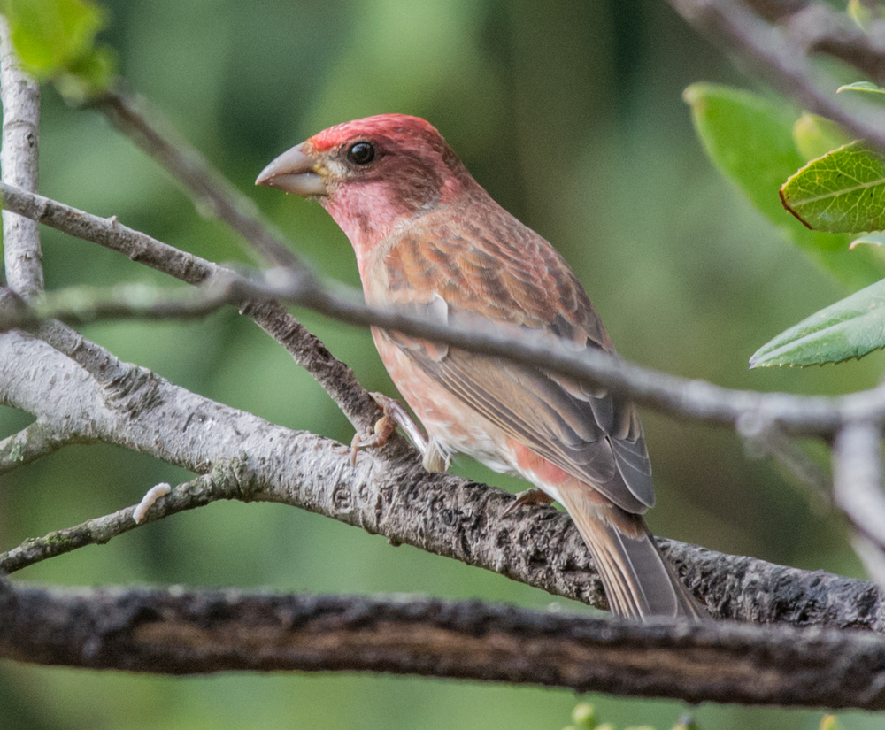Purple Finch (Carpodacus purpureus)   420mm,  1/640,  f/7.1 , ISO1400