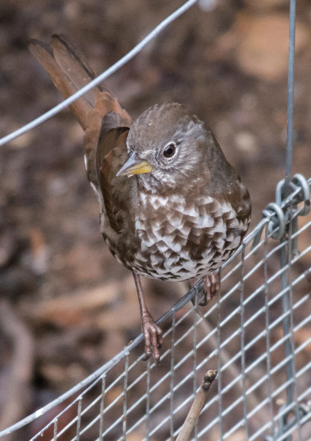 Fox Sparrow, Sooty (Passerella (iliaca) unalaschcensis)   420mm,  1/640,  f/5.6 , ISO1600