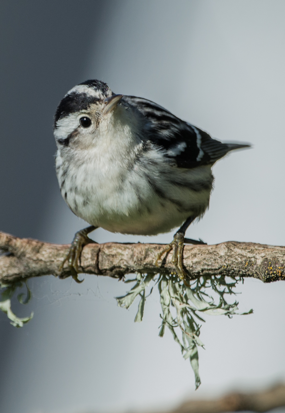 Featured Photo 17: Black-and-White warbler (Mniotilta varia)  EQ: D800 600mm f/4 VR on    Taken: 1-2-15 12:16  Setting: 600mm, 1/1000s, f/5.6, ISO360    Condition: Sunny but in shade