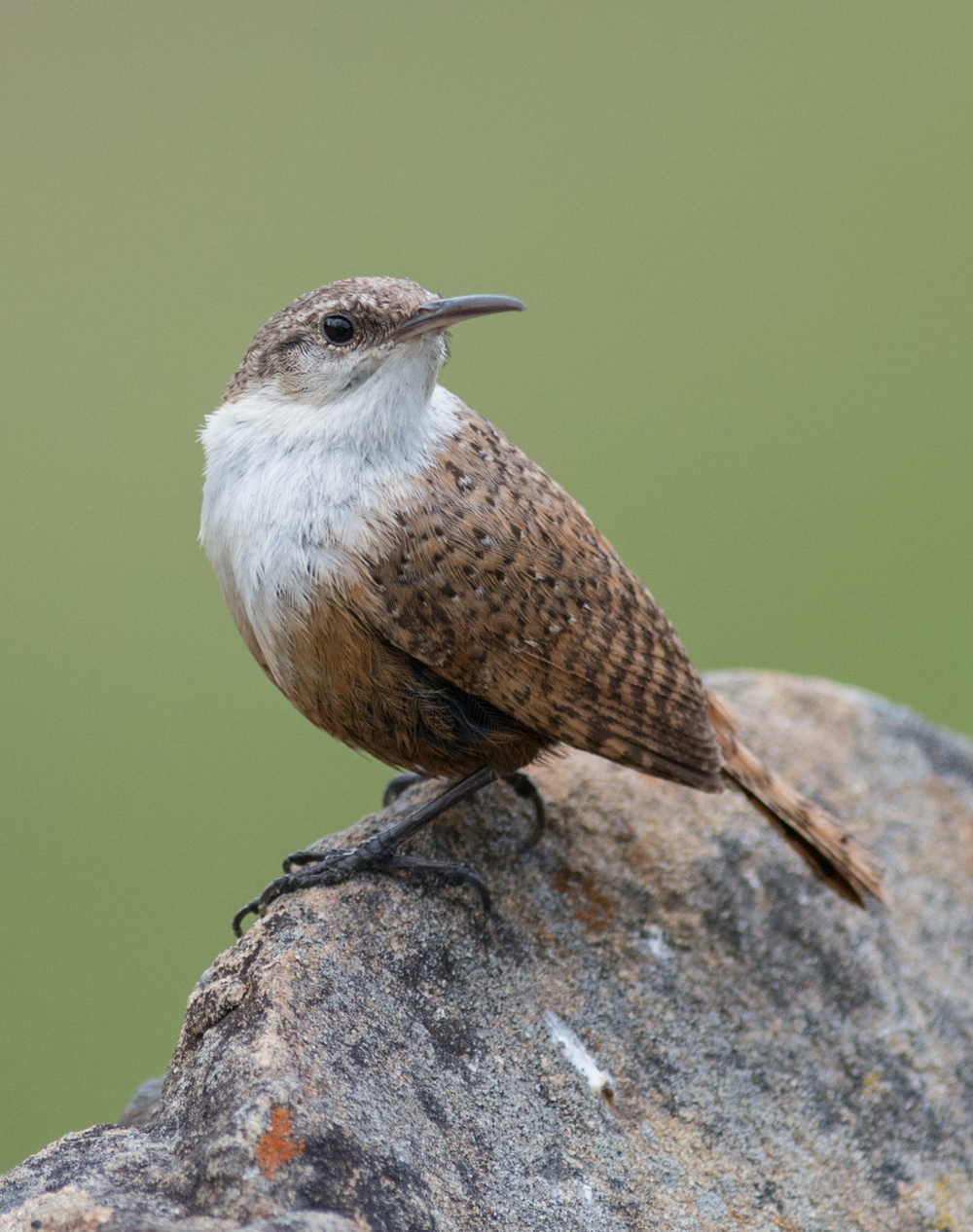 Featured Photo 22: Canyon Wren (Catherpes mexicanus) EQ: D800 f/2.8 300mm    Taken: 4-25-15 10:38 at Coyote Lake, Santa Clara (CA) Setting: 300mm, f/3.5, 1/1600s, ISO450     Condition: Sunny
