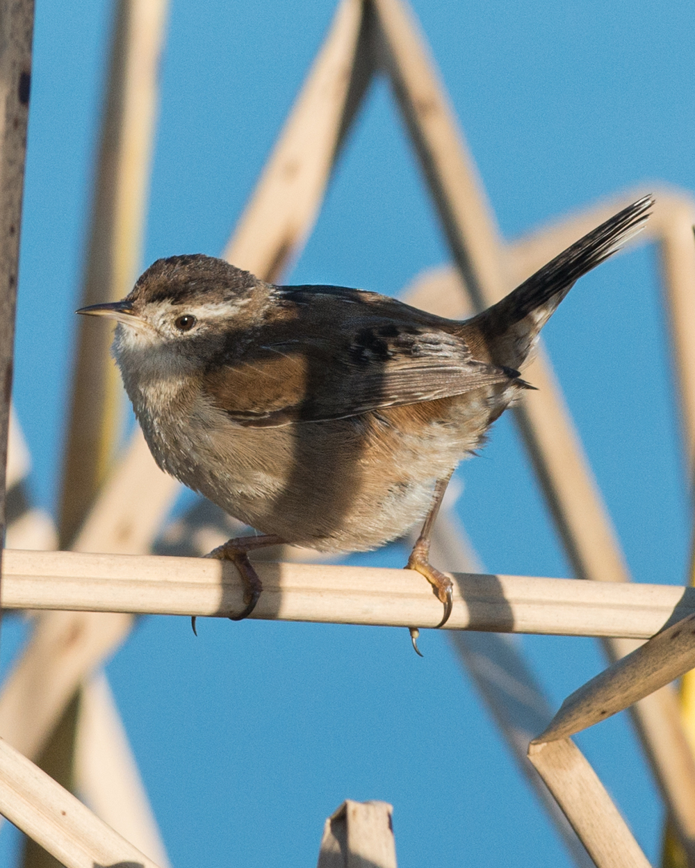 Marsh Wren (Cistothorus palustris) Taken: 2-12-15 8:24 at Baldwin Creek 1/1600, ISO250, f/6.3, 300mm