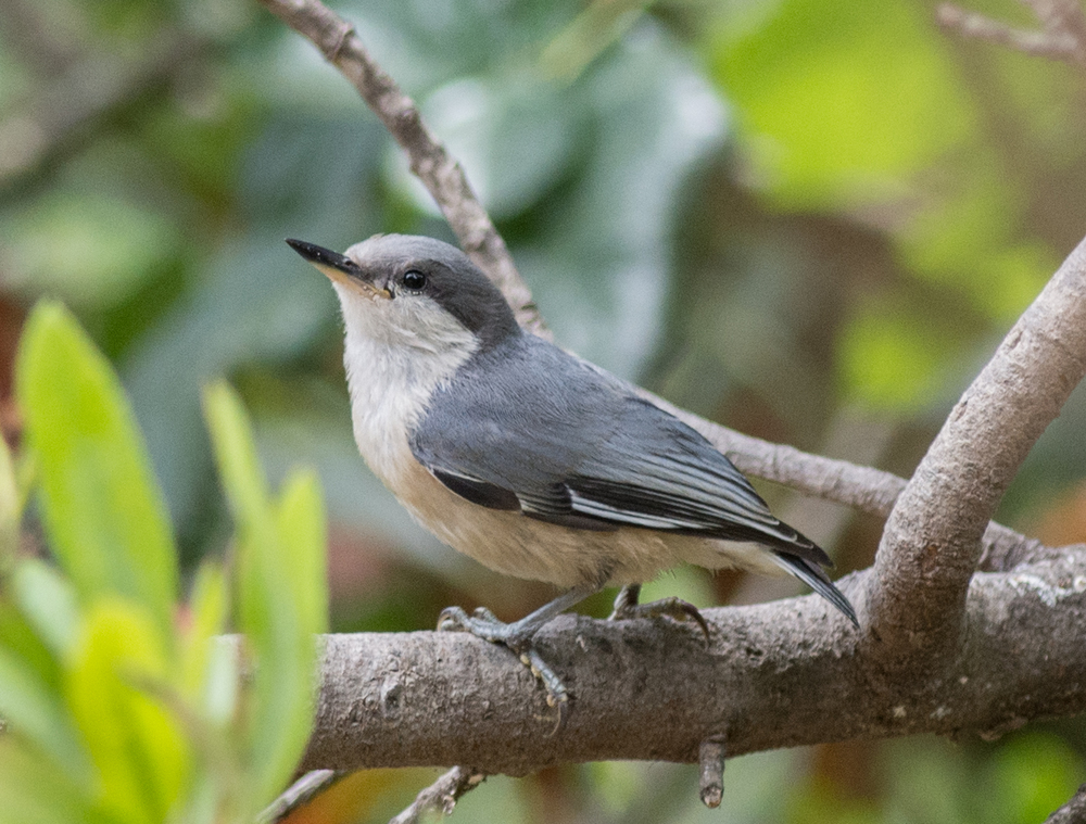 Pygmy Nuthatch (Sitta pygmaea) EQ: D7200 300mm f/2.8    Taken: 7-2-15 13:07 Sunny in Shade Setting: 450mm (@35mm), 1/1000s, f/3.5, ISO640