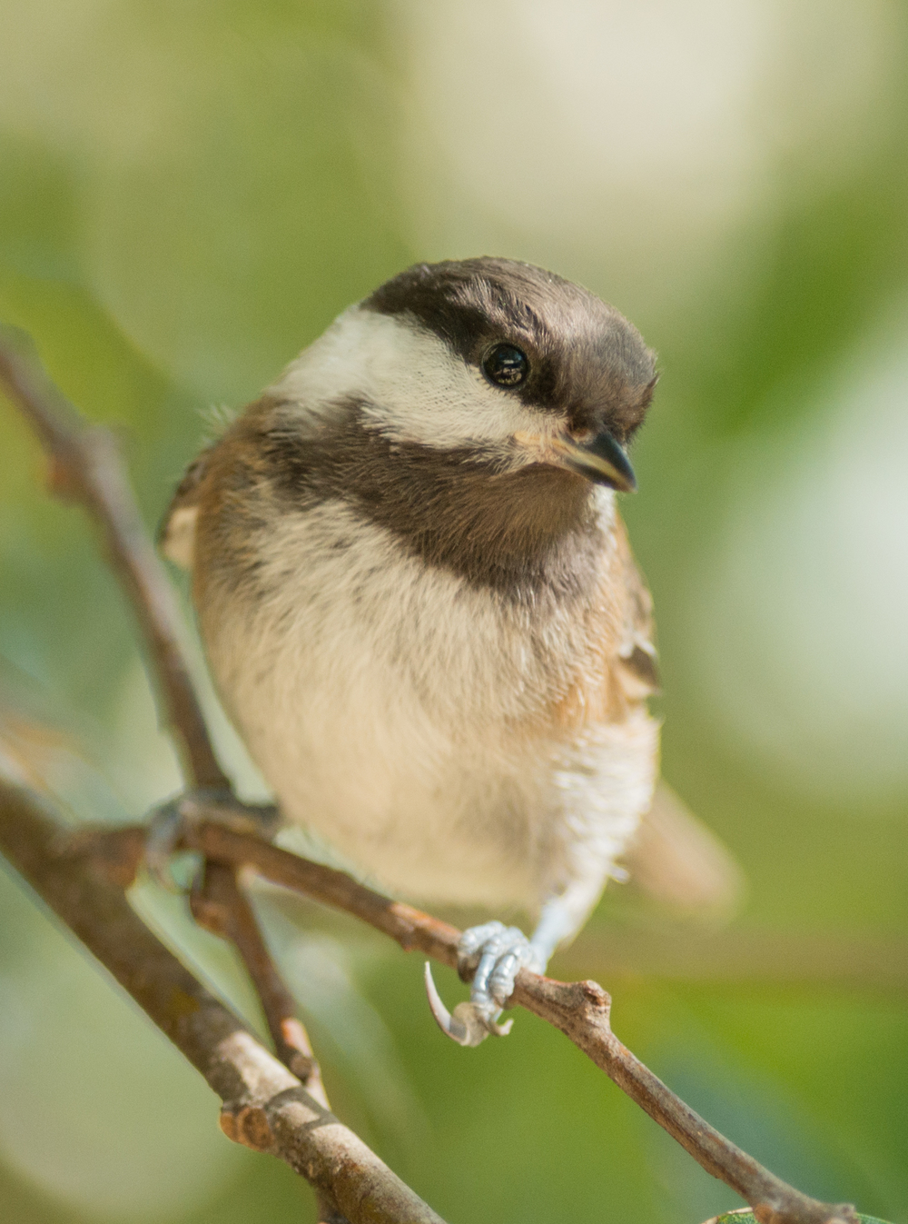 Chestnut-backed Chickadee (Poecile rufescens)  EQ: D800 300mm f/2.8    Taken: 6-23-15 17:17 Sunny in Shade  Setting: 450mm (@35mm), 1/500s, f/2.8, ISO400