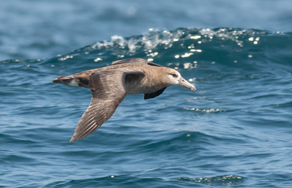 Black-footed Albatross (Phoebastria nigripes)  EQ: D7200 300mm f/2.8  Setting: 300mm (450mm @35mm), 1/1250s, f/5.6, ISO500